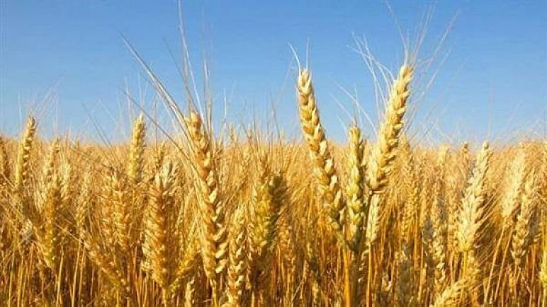 الزراعة تستعد لحصاد 13 مليون دونم من محصولي الحنطة والشعير ضمن موسم 2020