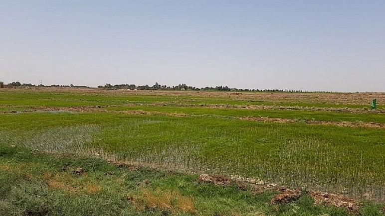 ذي قار تعلن انتهاء موسم تسويق الحنطة باستلام 243 الف طن