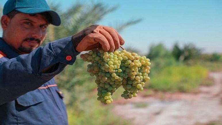 بالصور.. مزرعة فدك التابعة للعتبة العلوية تجني ثمار أول تجربة لزراعة العنب