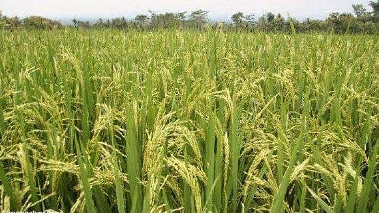 ذي قار تعلن انطلاق حملة حصاد محصول الشلب